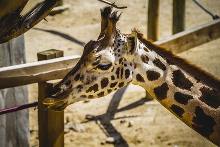 giraffa, beautiful giraffe in a zoo park photo