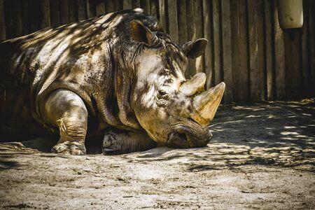 powerful rhino resting in the shade photo