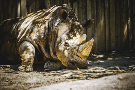 powerful rhino resting in the shade photo