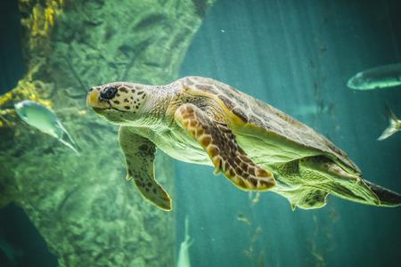 huge turtle swimming under the sea