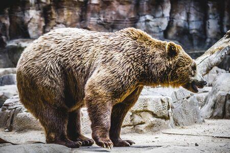 zoogdier: mooi en harige bruine beer, zoogdier