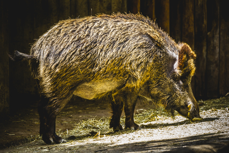 boar following a trail to smell photo