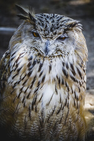 Spanish owl in a medieval fair raptors photo