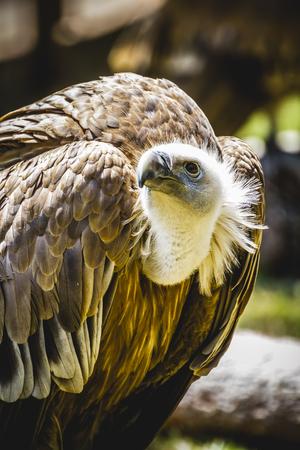 scavenger: scavenger vulture resting on a branch Stock Photo