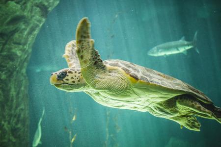 chelonia: huge turtle swimming under the sea