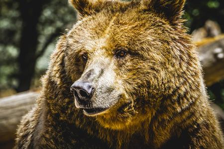 zoogdier: dierentuin, mooi en harige bruine beer, zoogdier