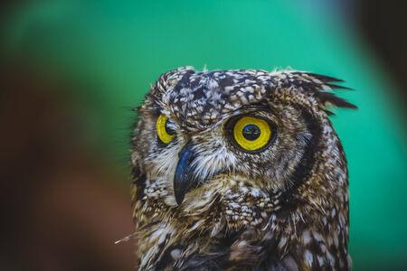 beautiful owl with intense eyes and beautiful plumage photo