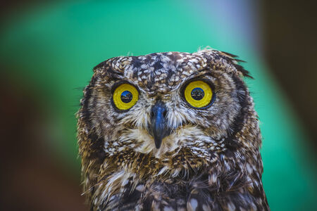 zoo, beautiful owl with intense eyes and beautiful plumage photo