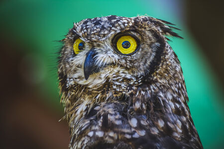 watching, beautiful owl with intense eyes and beautiful plumage photo