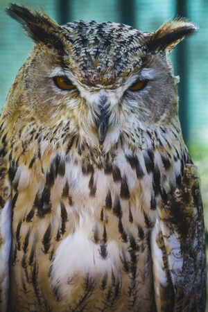 beautiful owl with intense eyes and beautiful plumage photo