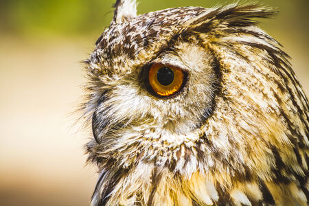 feather, beautiful owl with intense eyes and beautiful plumage photo