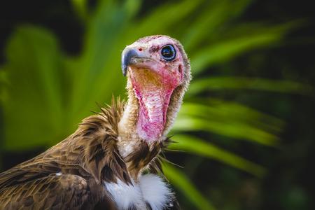 beak vulture: scavenger, Vulture detail scavenger head with large beak and intense look