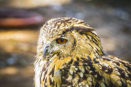 bubo, beautiful owl with intense eyes and beautiful plumage photo