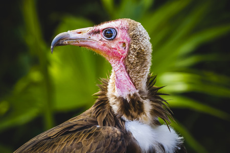 beak vulture: Vulture detail scavenger head with large beak and intense look