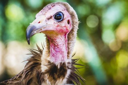 beak vulture: wilderness, Vulture detail scavenger head with large beak and intense look