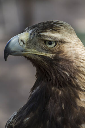 raptor: raptor, eagle brown plumage and pointed beak
