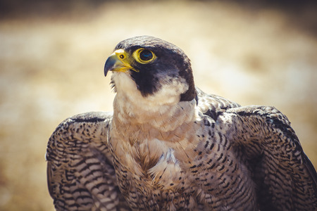 animal, peregrine falcon with open wings , bird of high speed photo