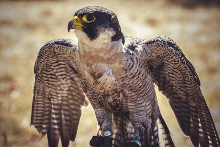 duck hawk in north america: beak, peregrine falcon with open wings , bird of high speed