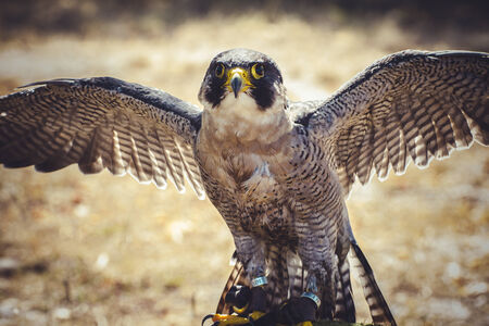 duck hawk in north america: feather, peregrine falcon with open wings , bird of high speed Stock Photo