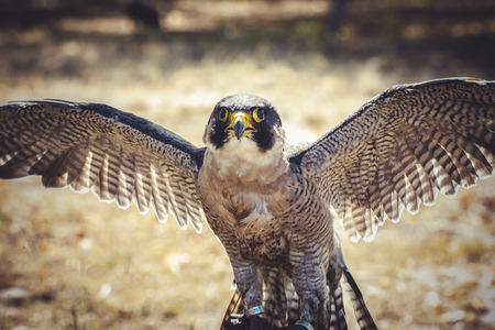duck hawk in north america: natural, peregrine falcon with open wings , bird of high speed