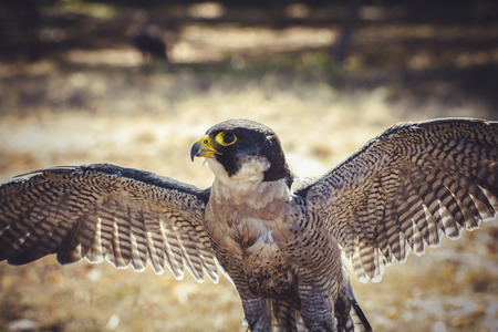 duck hawk in north america: peregrinus, peregrine falcon with open wings , bird of high speed