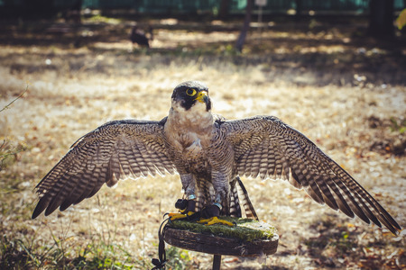 duck hawk in north america: peregrine falcon with open wings , bird of high speed