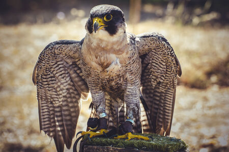 peregrine falcon with open wings , bird of high speed photo