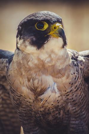 duck hawk in north america: hawk, peregrine falcon with open wings , bird of high speed