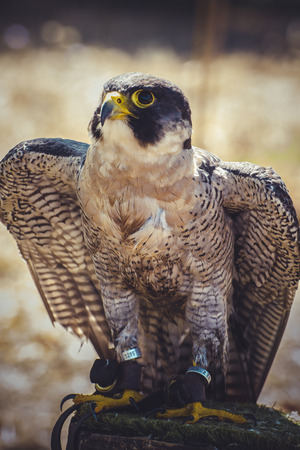 falco peregrinus: hawk, peregrine falcon with open wings , bird of high speed