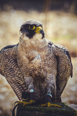 falco peregrinus: peregrine falcon with open wings , bird of high speed