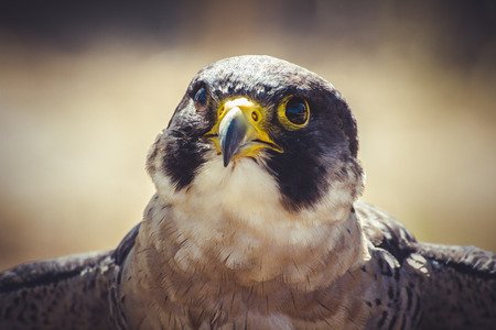 raptor, peregrine falcon with open wings , bird of high speed photo