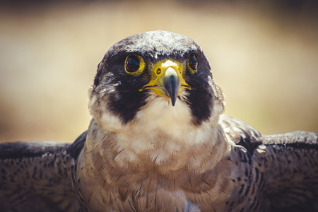 falco peregrinus: plumage, peregrine falcon with open wings , bird of high speed