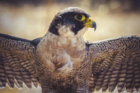 Wanderfalke mit offenen Flügeln, Vogelhochgeschwindigkeits