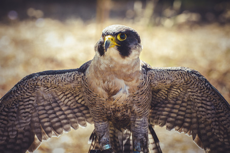 falco: peregrine falcon with open wings , bird of high speed