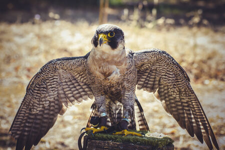 duck hawk in north america: plumage, peregrine falcon with open wings , bird of high speed
