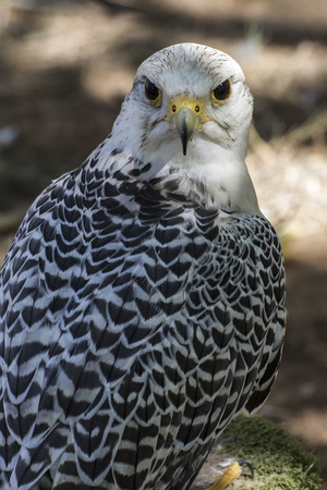 falco peregrinus: beautiful white falcon with black and gray plumage