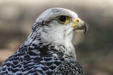 black plumage: prey, beautiful white falcon with black and gray plumage Stock Photo