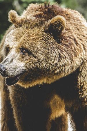 tueur, ours brun, animal majestueux et puissant