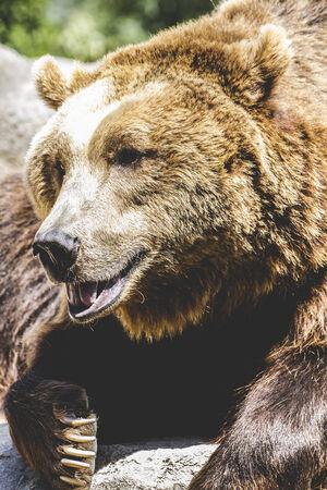 carnivore: carnivore, brown bear, majestic and powerful animal