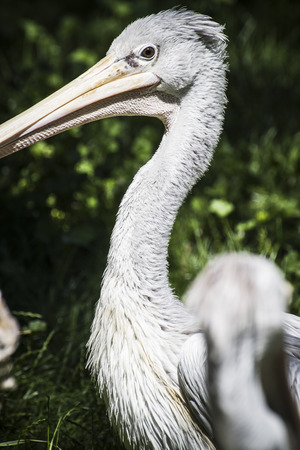 avian: avian pelican, bird with huge beak