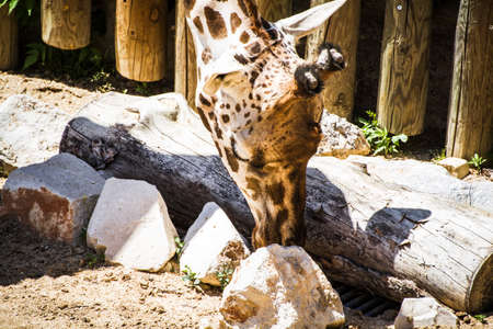 wildlife, beautiful giraffe in a zoo park photo