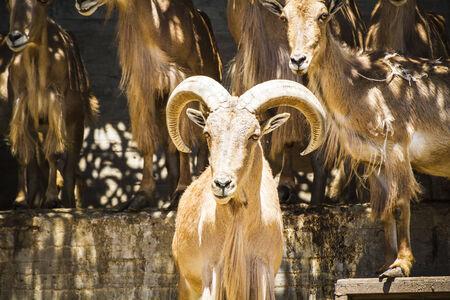 mountain goats: gruppo di capre di montagna, mammiferi famiglia con grandi corna