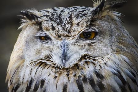 michigan snow: Spanish owl in a medieval fair raptors