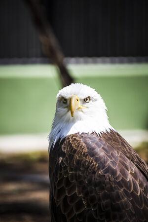 American white-headed eagle Imagens