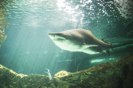 dangerous reef: dangerous and powerful shark swimming under water
