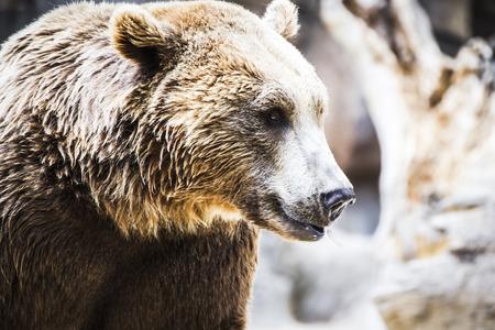 zoogdier: Roofdier, mooi en harige bruine beer, zoogdier Stockfoto