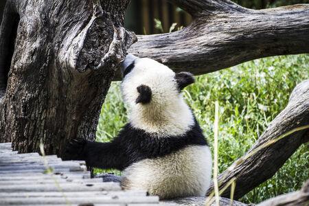 Beautiful breeding panda bear playing in a tree photo