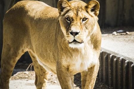 carnivore: Carnivore lioness resting, wildlife mammal withbrown fur