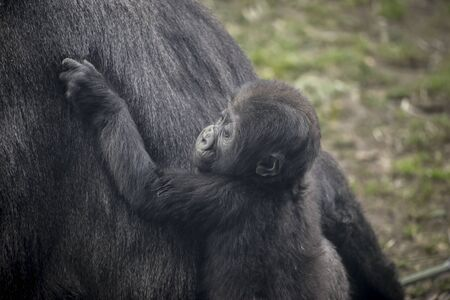 gorillas: gorilla breeding with her mother, huge and powerful gorilla, natural environment