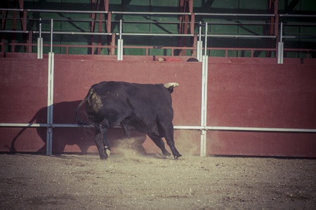Fighting bull picture from Spain. Black bull photo